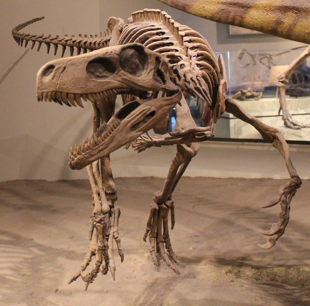 Skeleton of a carnivorous dinosaur, with open jaws and sharp teeth prominently in the foreground