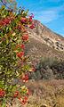 Heteromeles arbutifolia 04.jpg