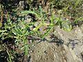 Hibiscus trionum sl11.jpg