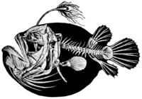 Himantolophus groenlandicus