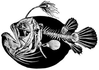 Footballfish Family of fishes