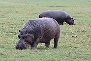 Hippopotamus in Chobe National Park 01