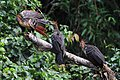 Hoatzin - Ophisthocomus hoazin, Cuyabeno Wildlife Reserve, Ecuador (48703661312).jpg