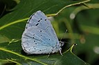 Holly blue (Celastrina argiolus) male underside 2.jpg