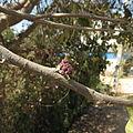 Holoptelia integrifolia 05.JPG