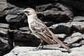 Hood-mockingbird-rocks.jpg