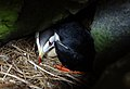 Horned Puffin with egg on Aiktak Island by Mikaela Howie USFWS.jpg
