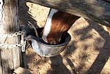 Horse-drinking-0A.jpg