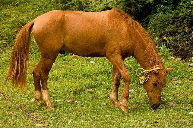 Kôň domáci