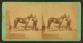 Horse by Sir Walter, a son of Schaeffer (...), by Schreiber & Sons.png