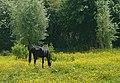 Horse in a pasture J1.jpg