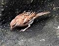 House Sparrow female erythristic best DSCN8903 (3).jpg