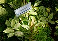 Hoya carnosa - Marie Selby Botanical Gardens - Sarasota, Florida - DSC01027.jpg