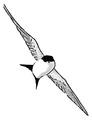 Huiszwaluw Delichon urbica Jos Zwarts 17.tif