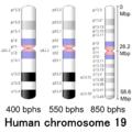 Human chromosome 19 - 400 550 850 bphs.png