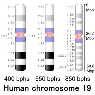 Chromosome 19 (human) - Image: Human chromosome 19 400 550 850 bphs