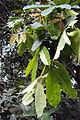 Humboldtia brunonis Wall. 15.JPG