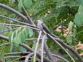 Hummingbird, Canada Ontario3.jpg