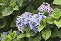 Hydrangea macrophylla, Giresun 2017-07-05 01-3.jpg
