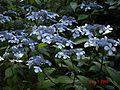 Hydrangea serrata blue - Flickr - peganum.jpg