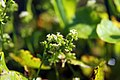 Hydrocotyle vulgaris 3zz.jpg