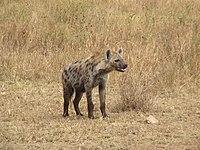 200px HyenaTanzania - جميع اسماء أصوات الحيوانات ومعلومات عنها بالصور