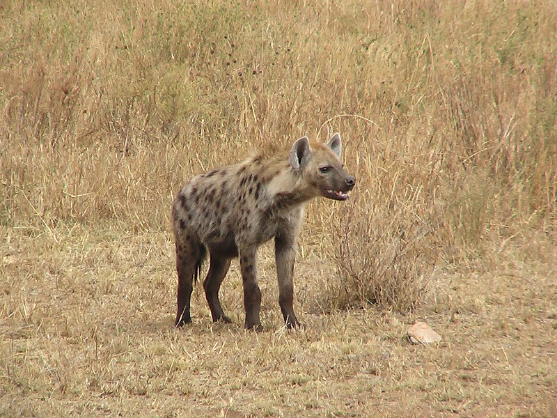 File:HyenaTanzania.JPG