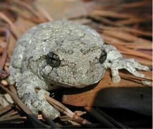 Hylidae - Image: Hyla gray treefrog