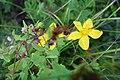 Hypericum perforatum L. familija (Hypericaceae) 02.jpg