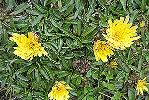 Santa Marta páramo - Chikku Chikku (Hypochaeris sessiliflora)