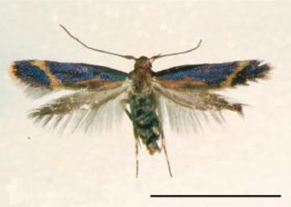 Phereoeca allutella - WikiMili, The Free Encyclopedia