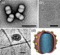 ICTV Virus Taxonomy Profile Ovaliviridae Fig1.png