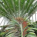 IMG 7184-Encephalartos woodii.JPG