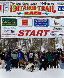 How many sled dogs are pulling a musher in a race?