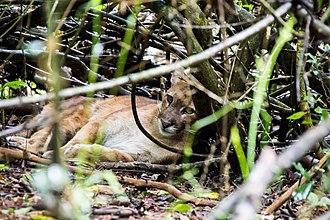 South American cougar - Cougar at Iguaçu National Park, Brazil