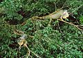 Iguana iguana 2 adults 1 young.jpg
