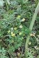 Ikeffis -Trifolium campestre - trèfle jaune .jpg