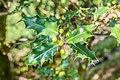 Ilex aquifolium in La Jaysinia (1).jpg