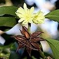Illicium anisatum (flower and fruits).jpg