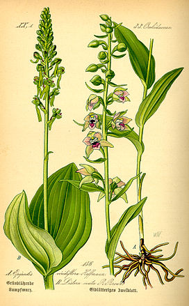 Illustration Listera ovata0.jpg