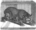 Illustrirte Zeitung (1843) 18 285 3 Ein Löwe aus Nubien.PNG