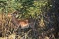 Impala, Ruaha National Park (7) (28666141131).jpg
