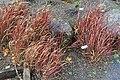 Imperata cylindrica 'Rubra' - Oregon Garden - Silverton, Oregon - DSC00233.jpg