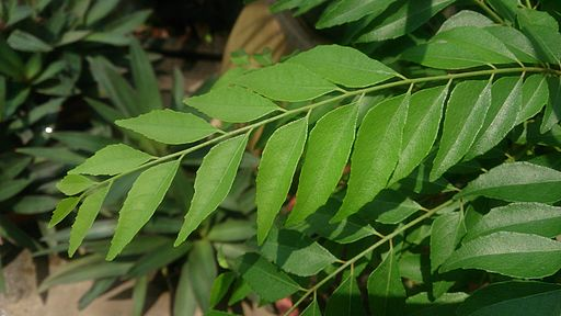 Indian Curry Tree (Murraya koenigii)