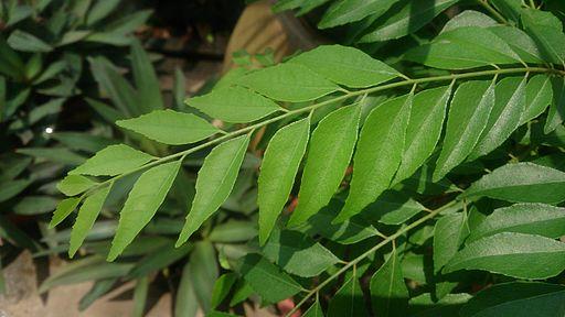 Indian Curry Tree (Murraya koenigii)