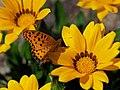 Indian Fritillary Butterfly Male ツマグロヒョウモン On A Gazania Flower (258006523).jpeg