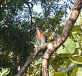 Indian Roller. Coracias benghalensis - Flickr - gailhampshire.jpg