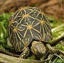 Indian Star Tortoise.jpg