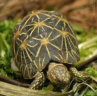<i>Geochelone</i> Genus of tortoises