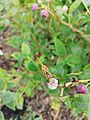 Insects life on blueberry.jpg